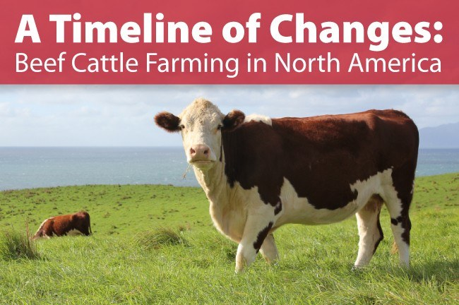 A Timeline of Changes: Beef Cattle Farming in North…   Arrowquip