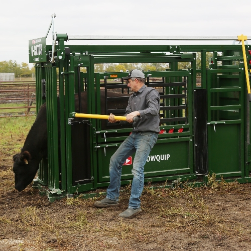 The Q-Catch 74 Series Cattle Chute in Use