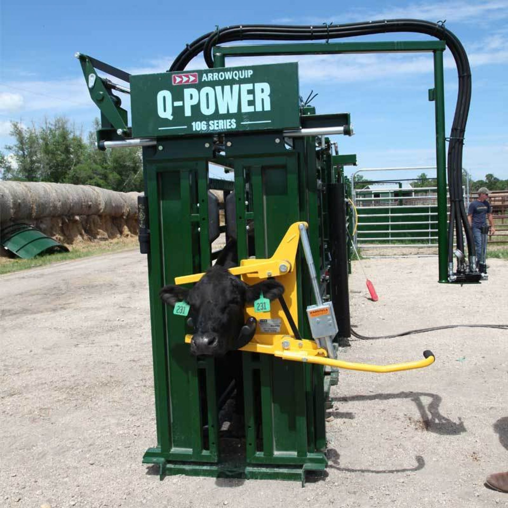 Black cow in Q-Power hydraulic cattle chute and head holder