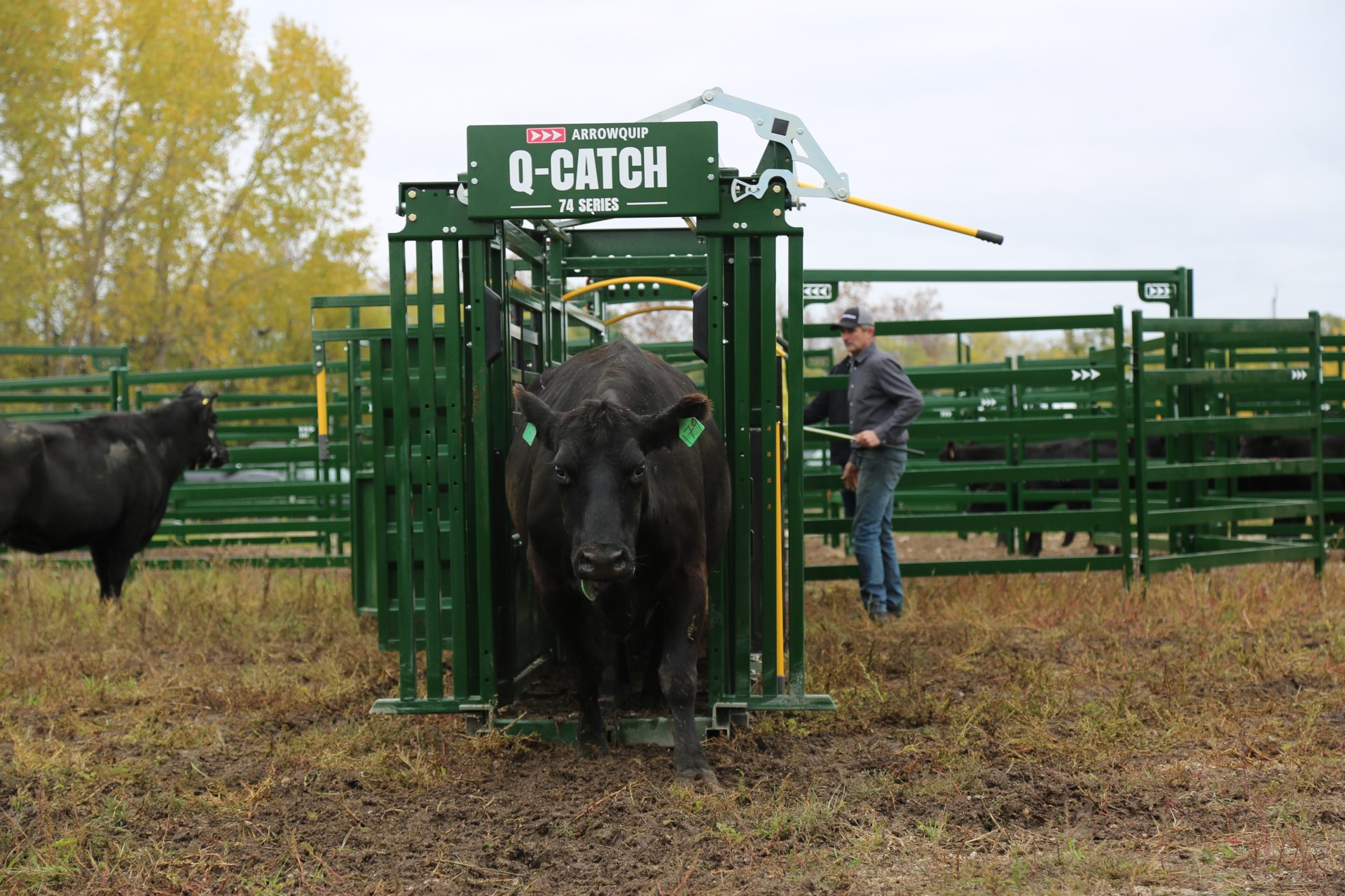 Black cow exiting Q-Catch cattle head gate