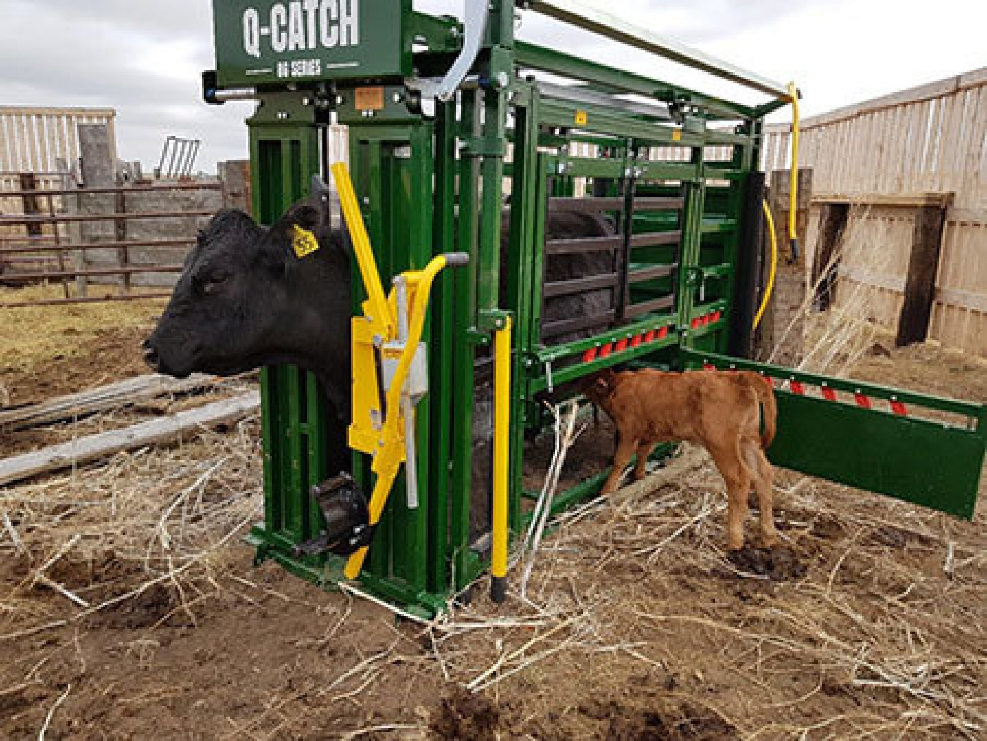 Calf Drinking Milk From Cow In Chute