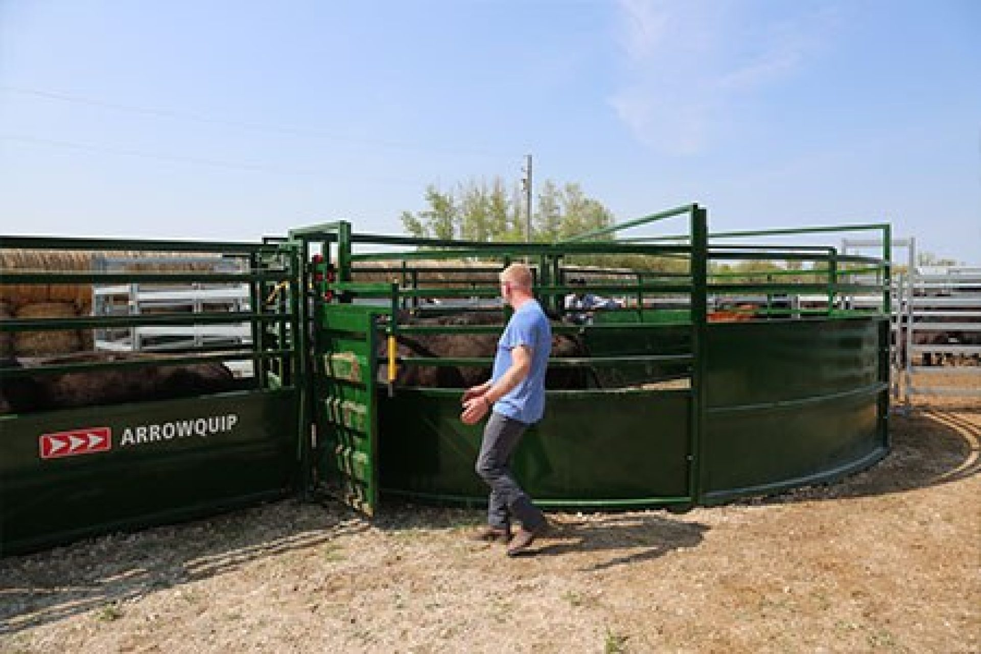Handler guiding brown cows from cattle tub into alley system