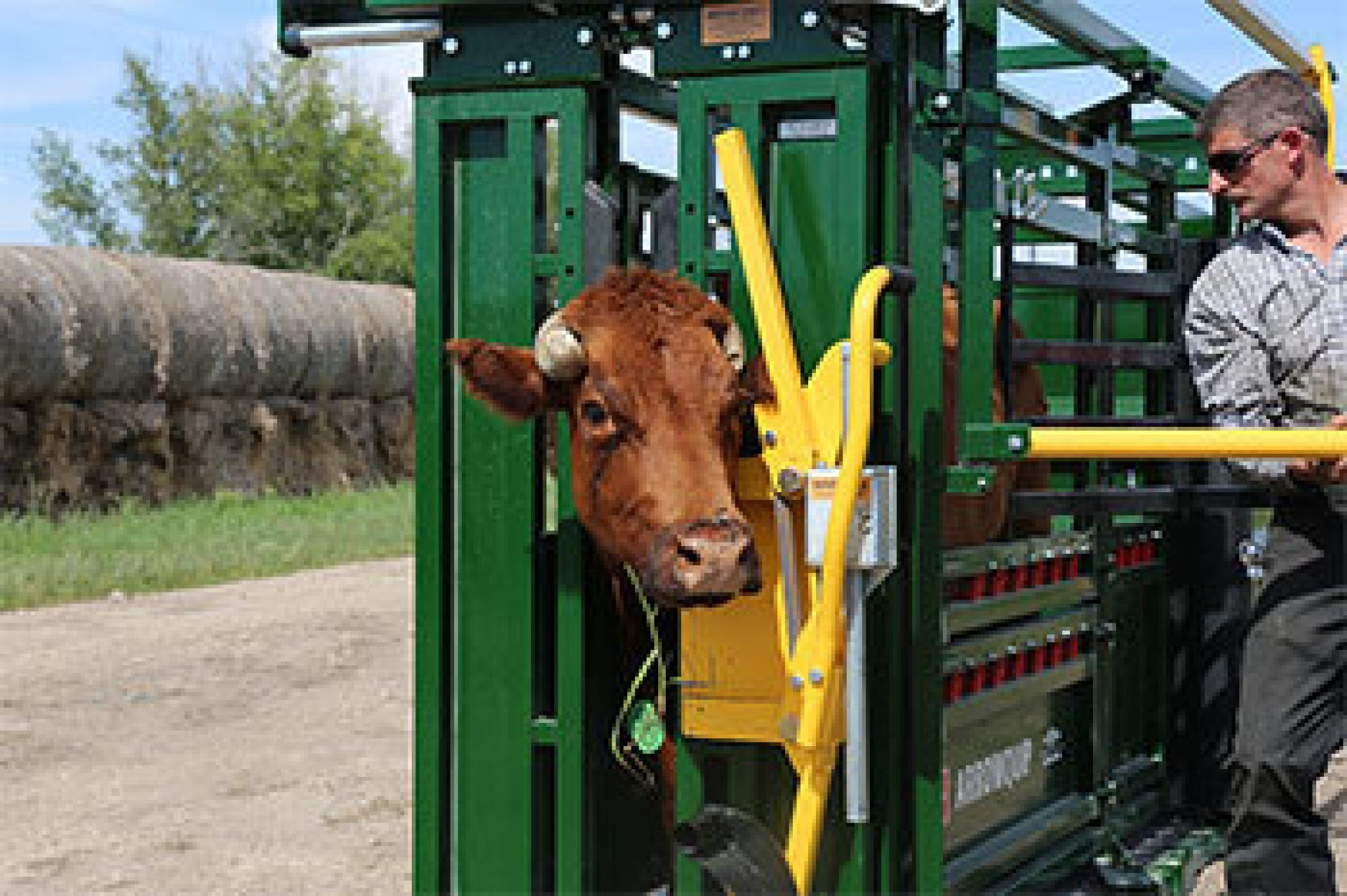 Squeezing cow in chute