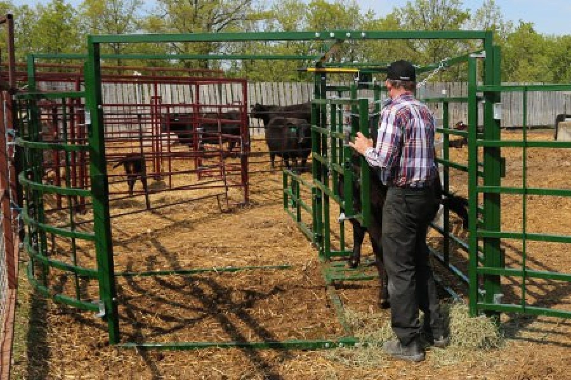 rancher using a maternity pen with a black cow
