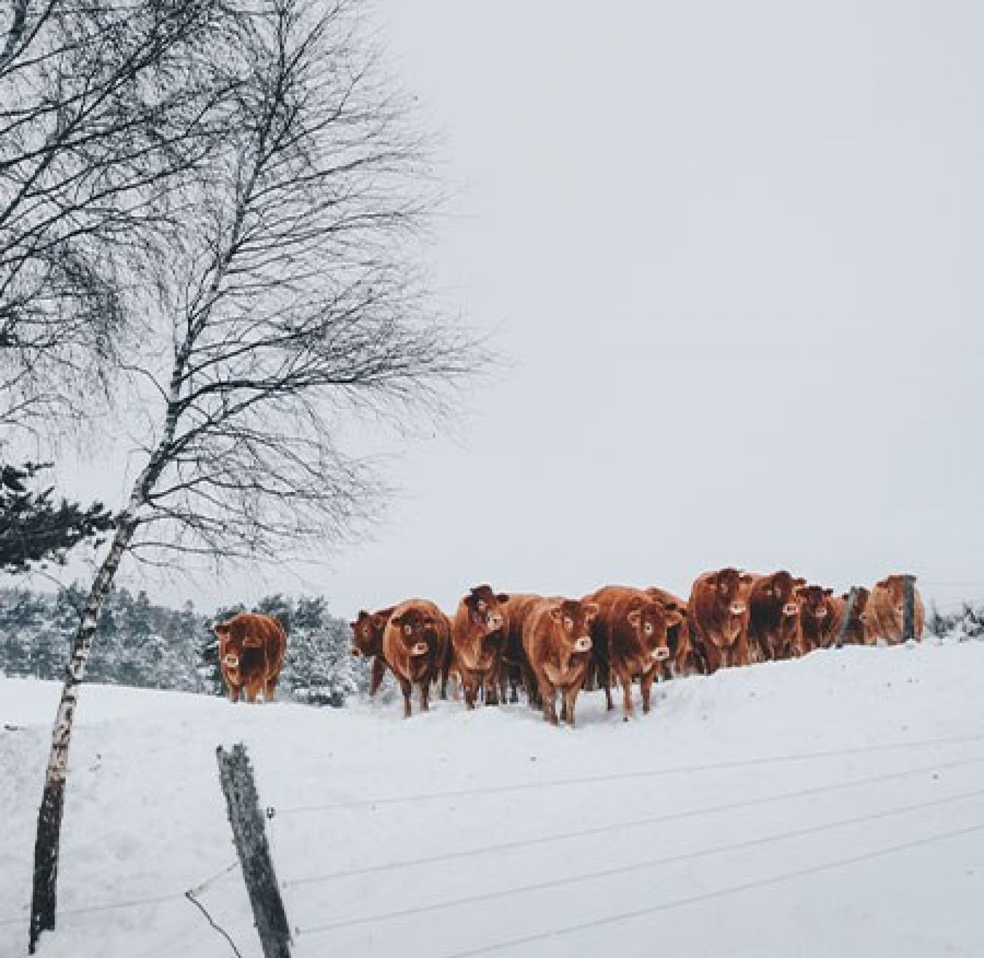 Herd of red cows grazing in snow pasture