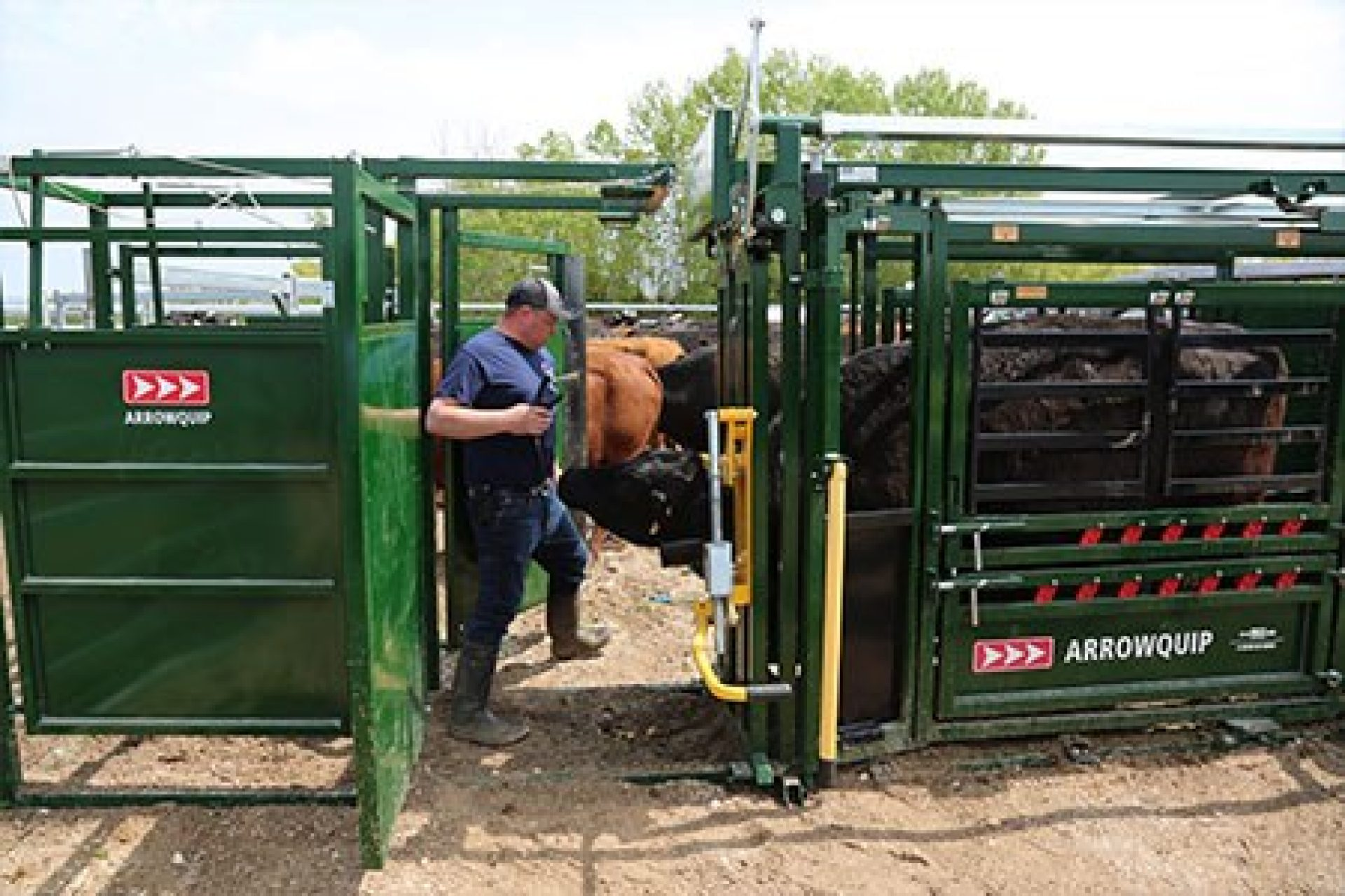 Man eartagging a cow in a squeeze chute