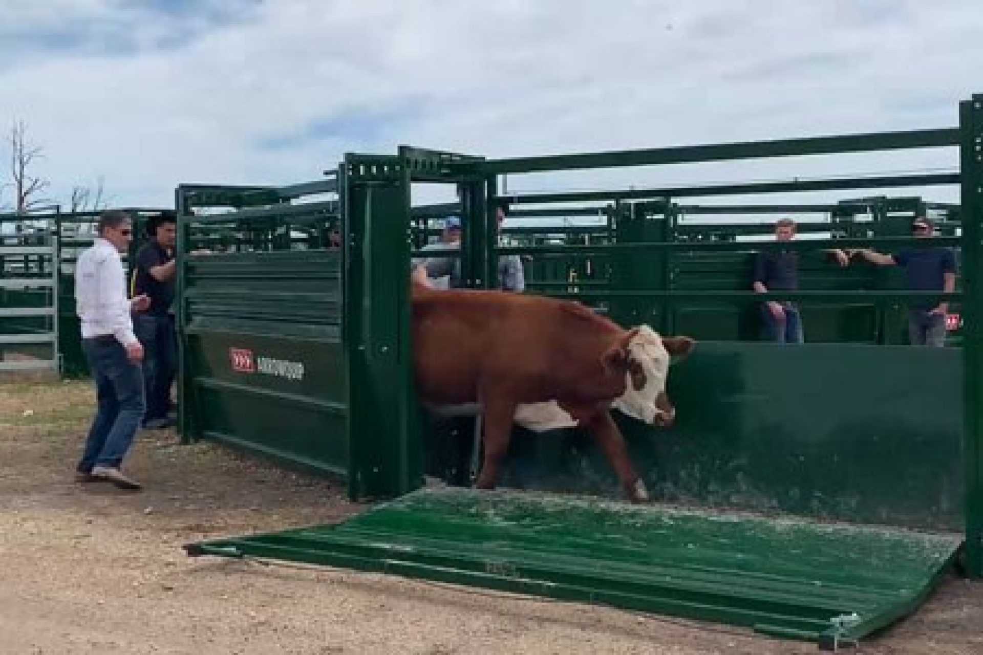 Cow exiting a cattle alley through the side