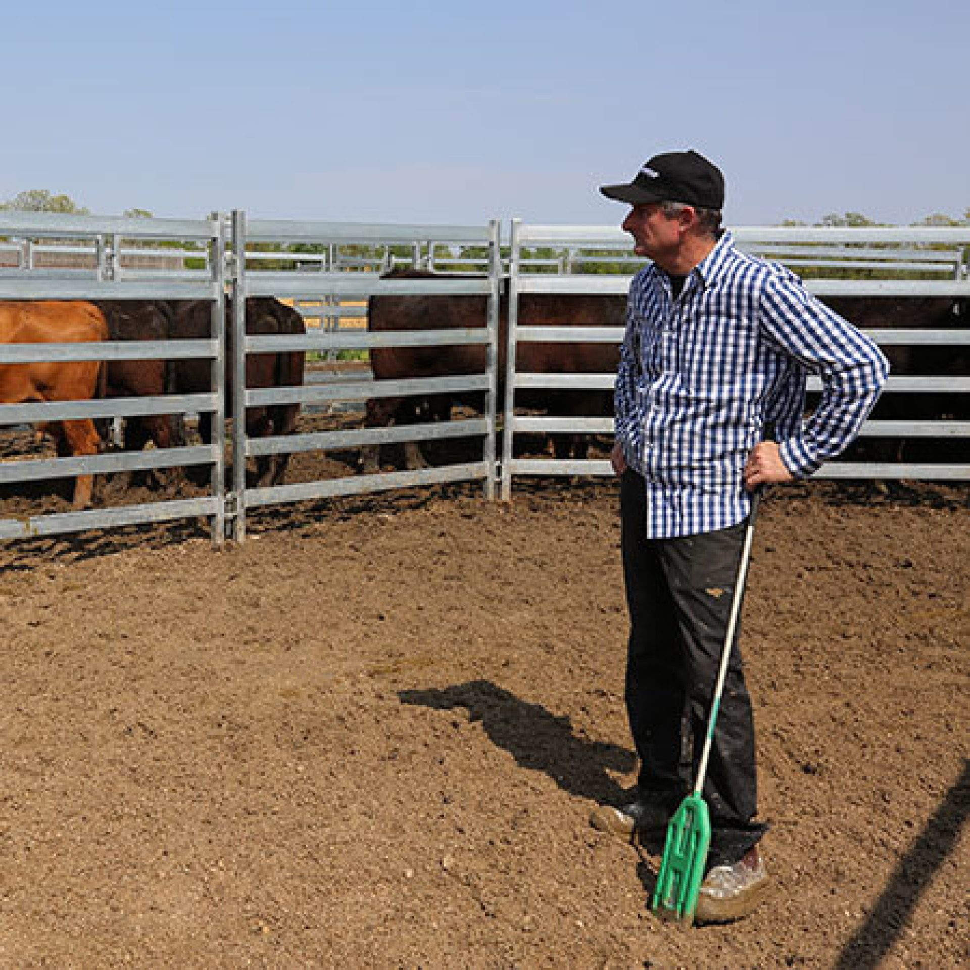 Man standing looking at cattle through panels