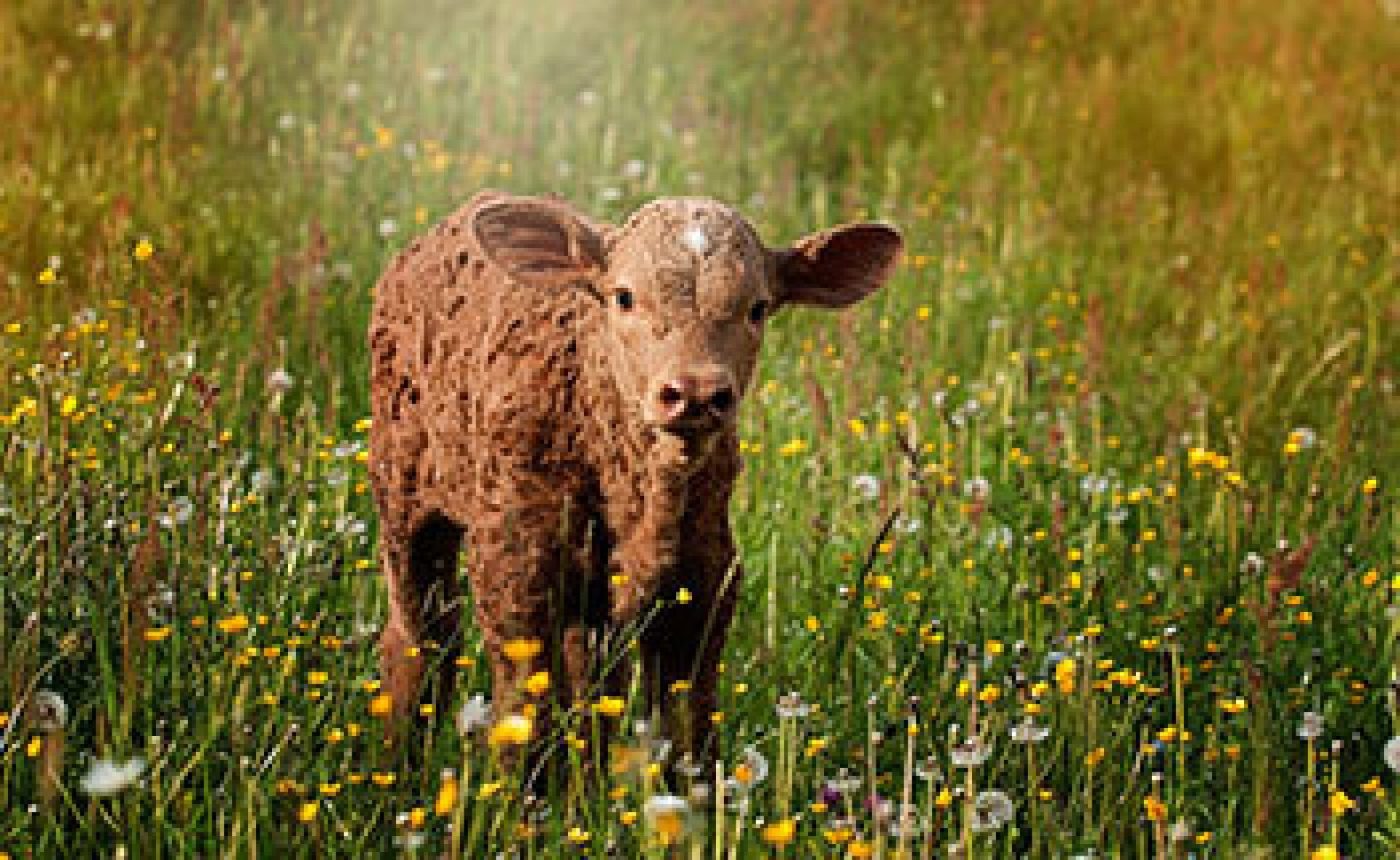 Brown calf with green grass background