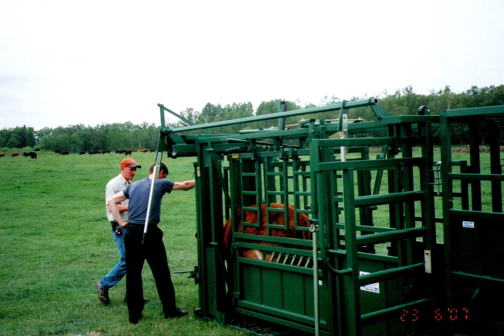 First Q-Catch Cattle Chute in Use