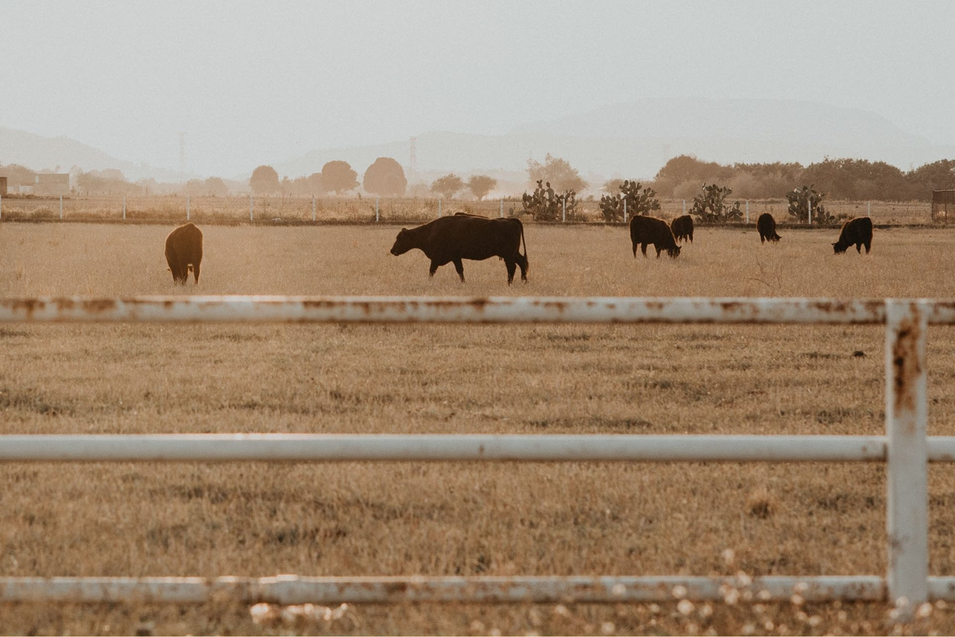 Group of cattle in field with grey smoky sky behind