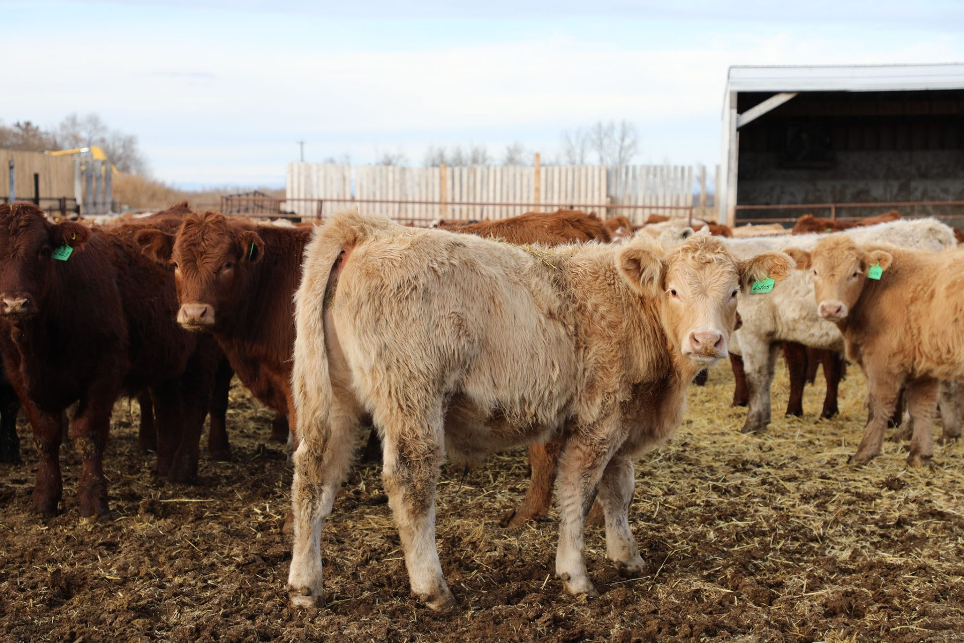 Group of beef cattle in Feedlot Yard