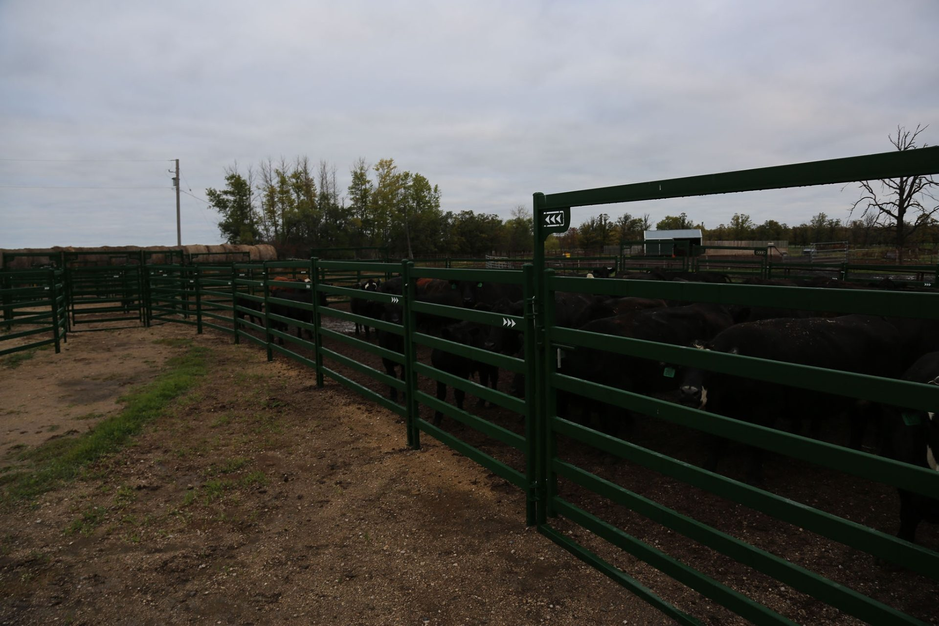 Heavy-duty Arrow Cattle Panels and Gates with cattle in a pen