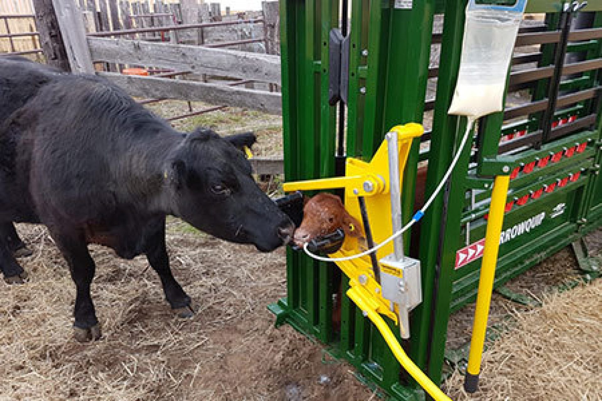 calf in chute drinking milk with mama cow outside