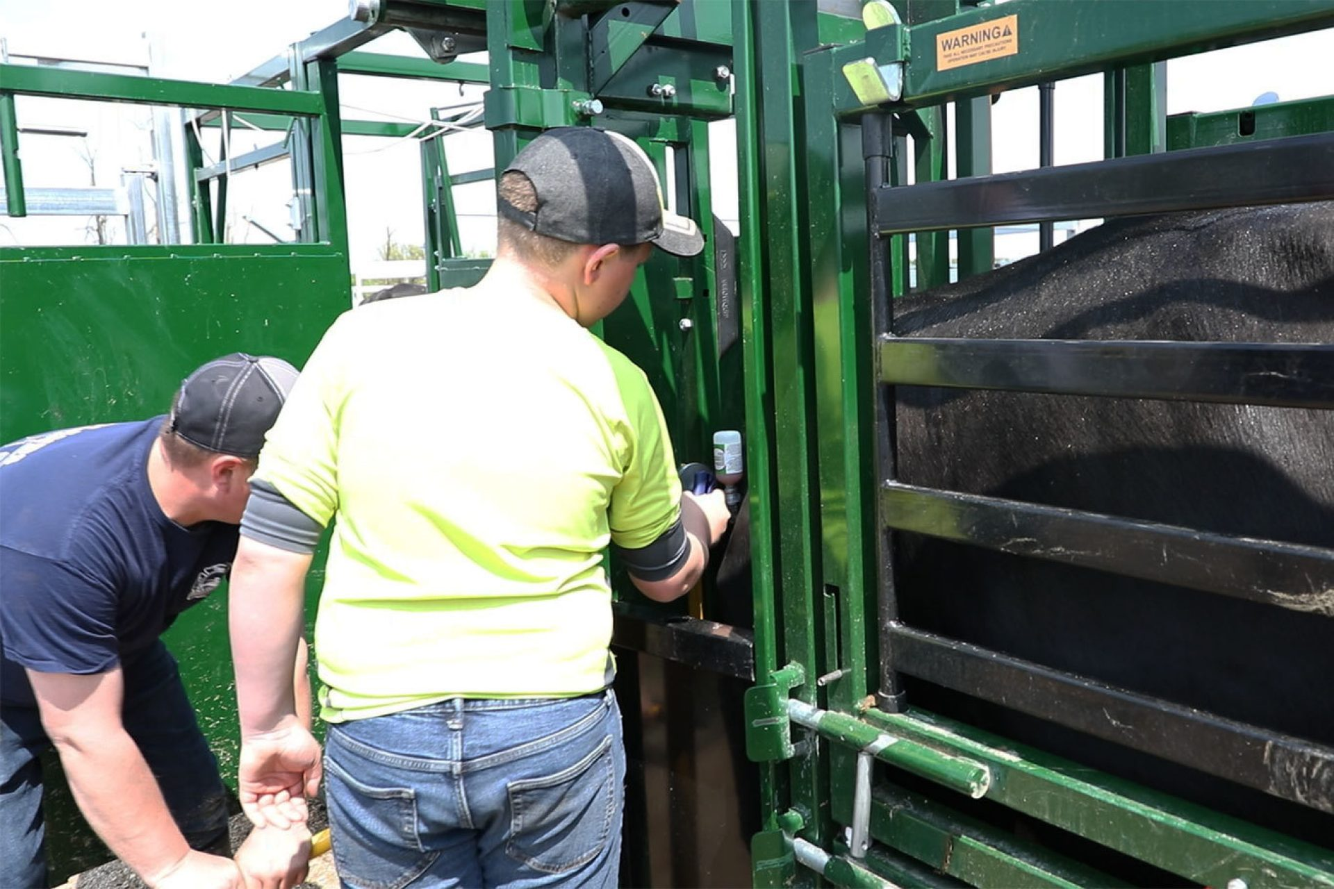 Father and Son Vaccinating Cattle