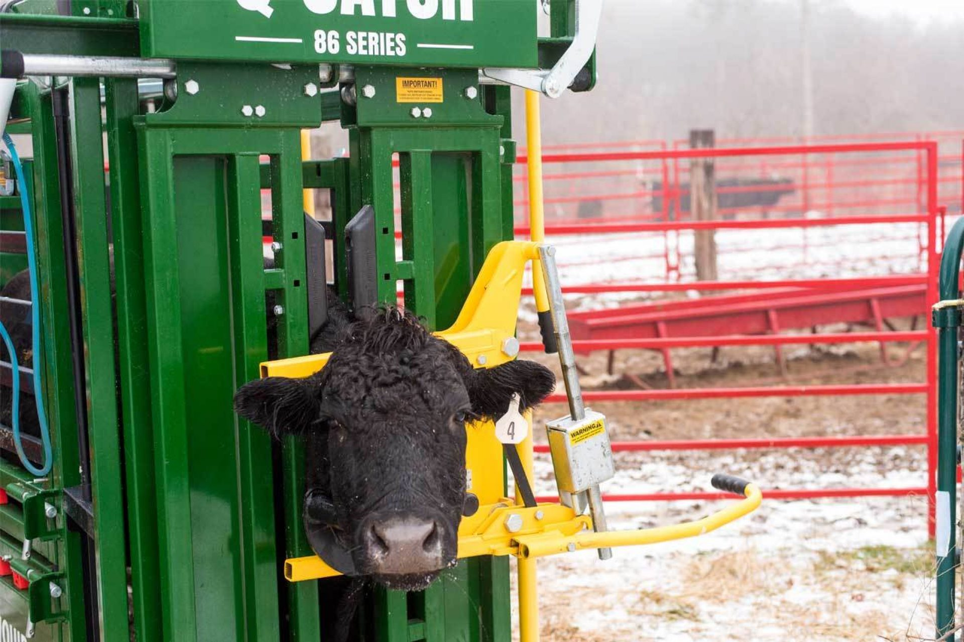 Black cow in Q-Catch 86 Series cattle chute with red fence and snow