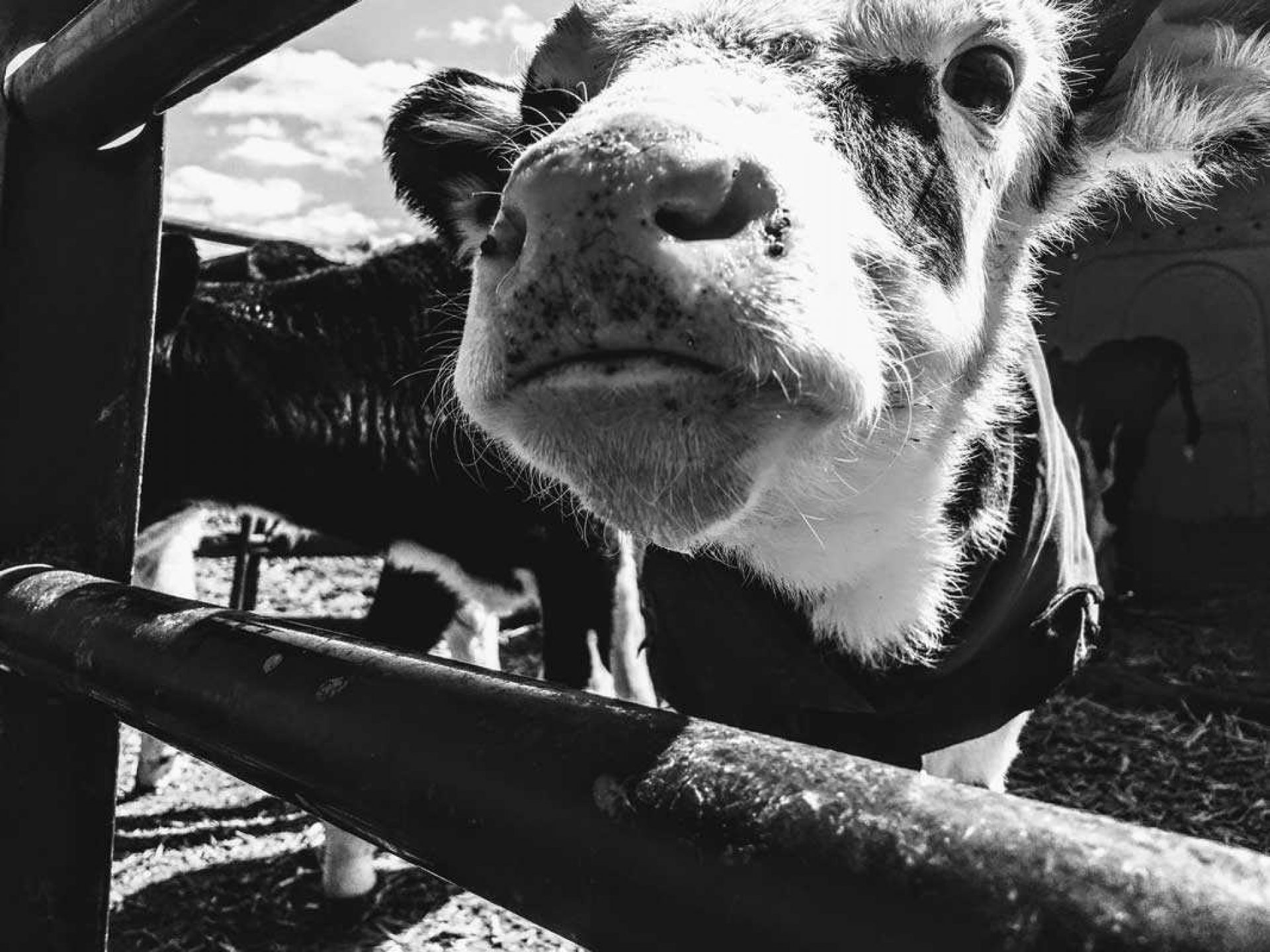 Black and white image of cow looking through fence