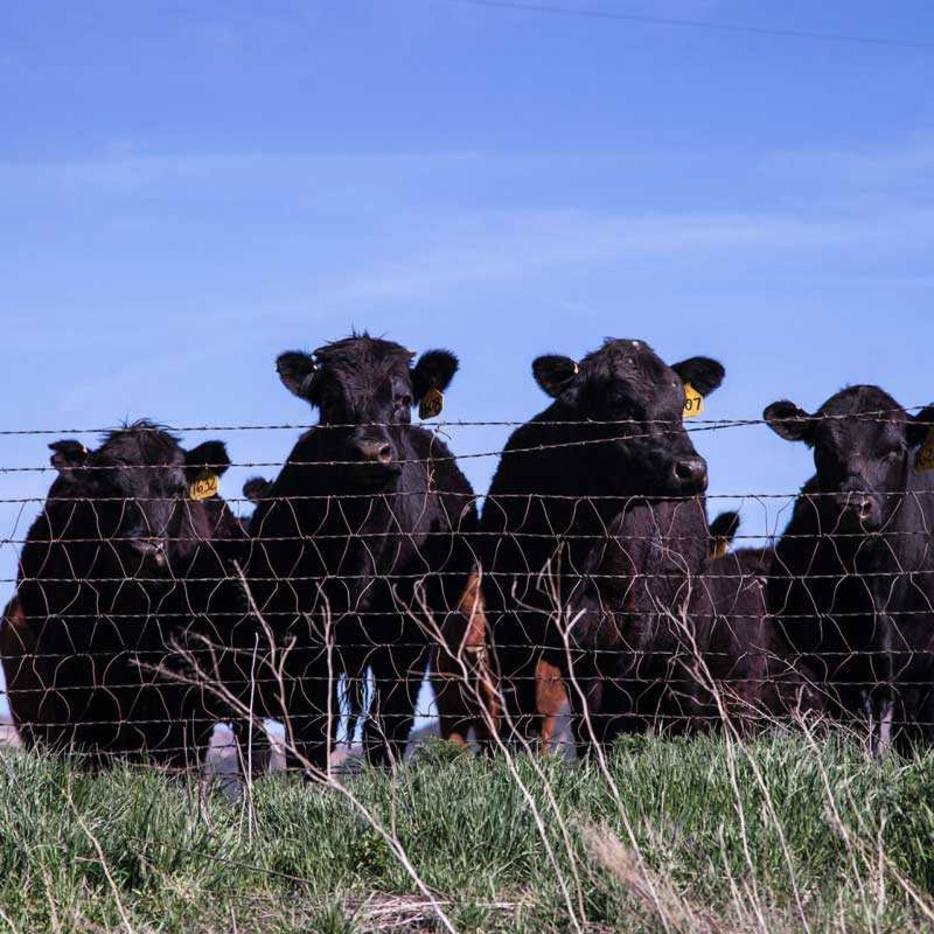Group of black cattle
