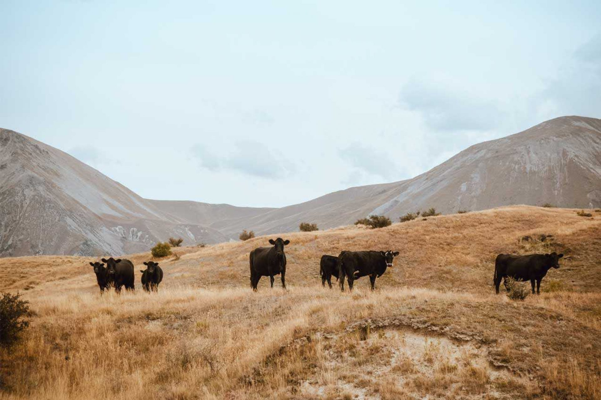 Group of cattle on a grass covered hill