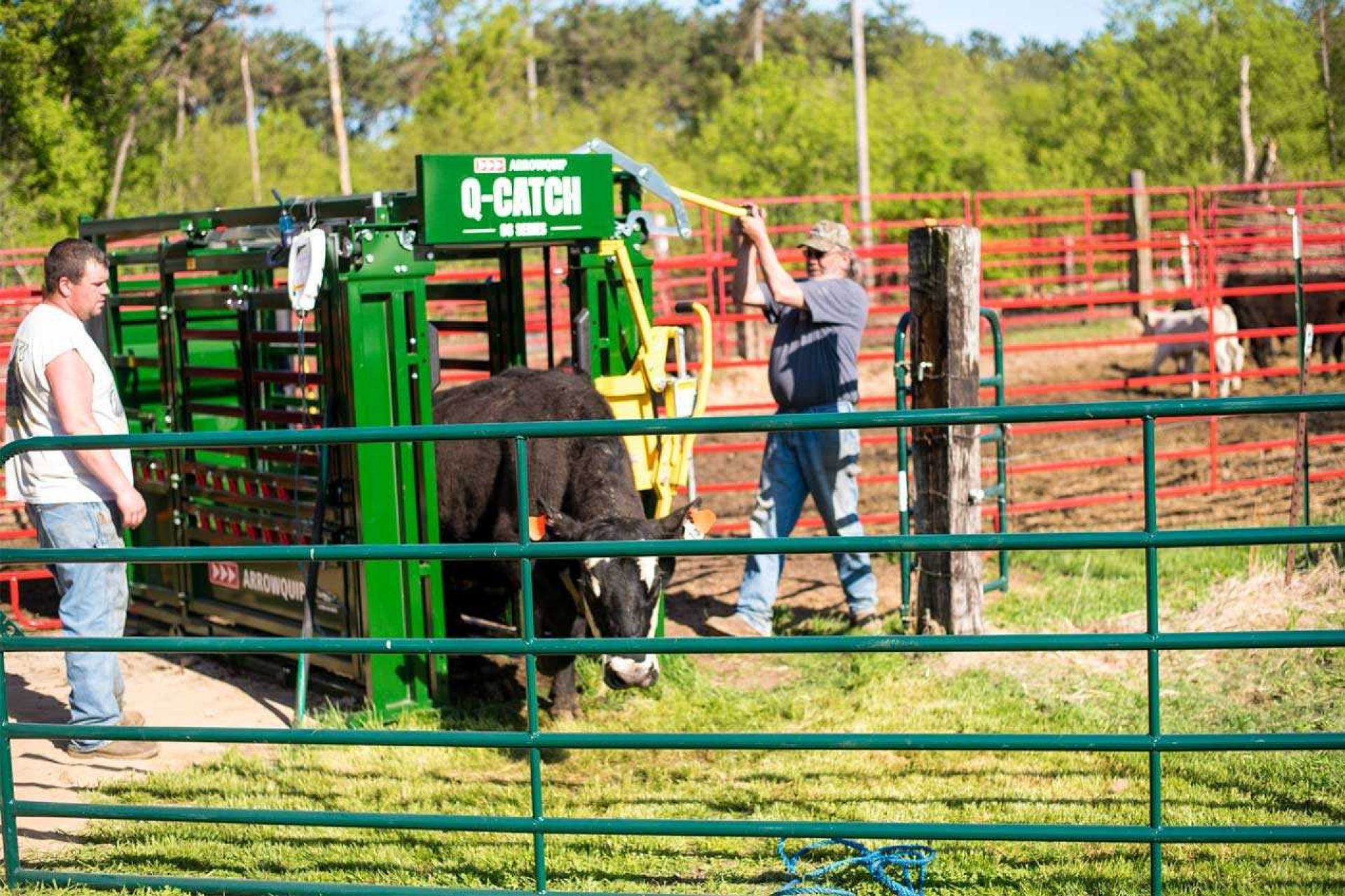 Two men working large cow in Q-Catch Cattle Chute