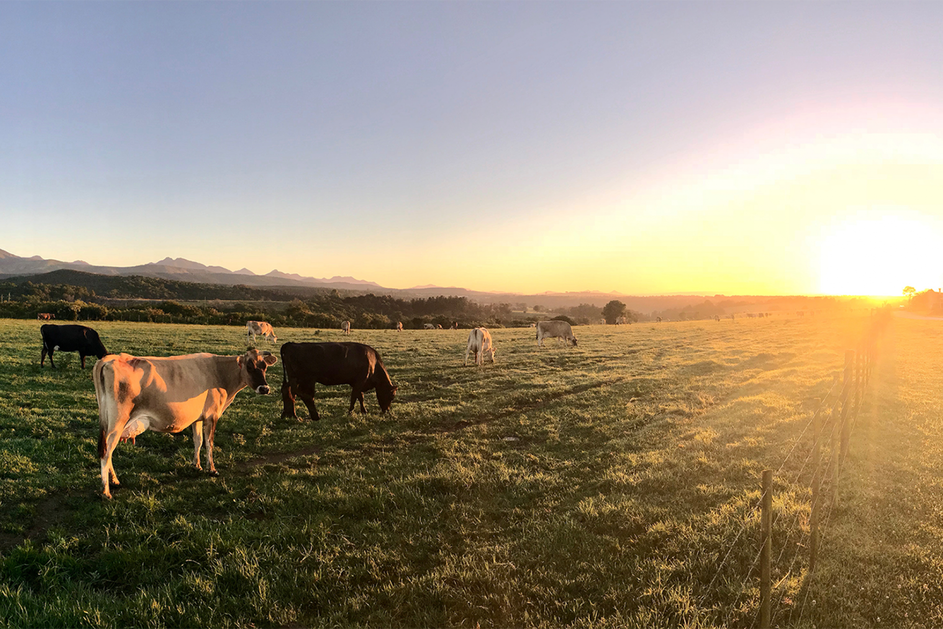 Cows in pasture with sun setting over hills in the background