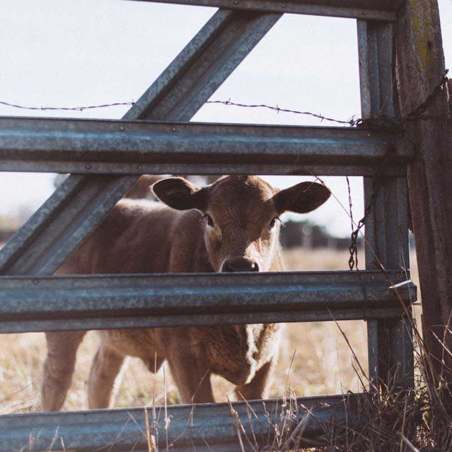 Brown calf looking through fence at camera