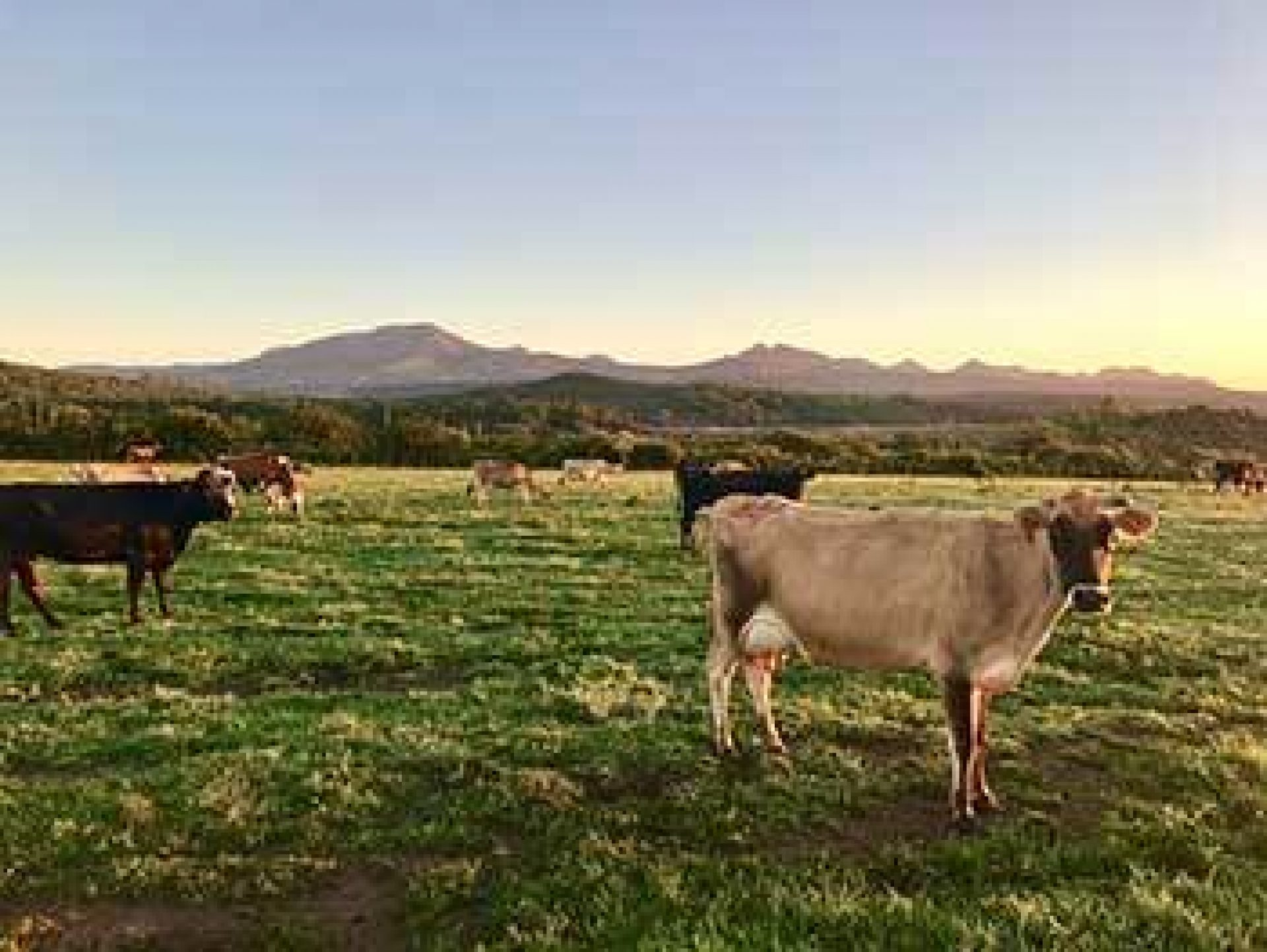 Blue Sky Bright Cattle