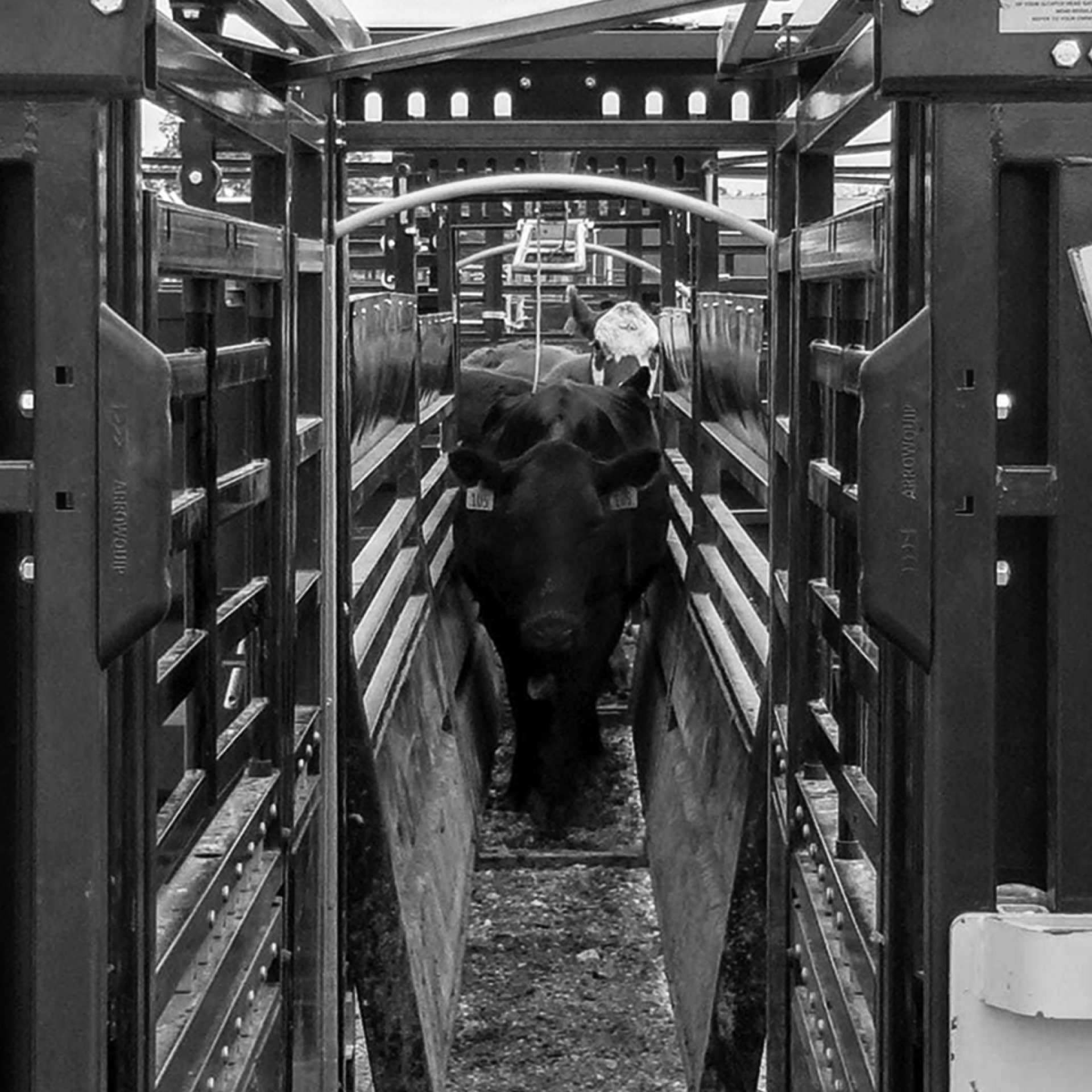 Image of cattle walking through a cattle alley and cattle chute