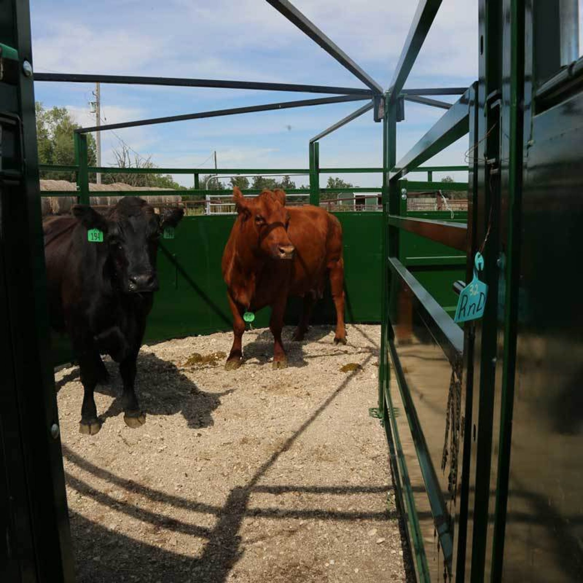 Pair of cows in BudFlow cattle crowding tub