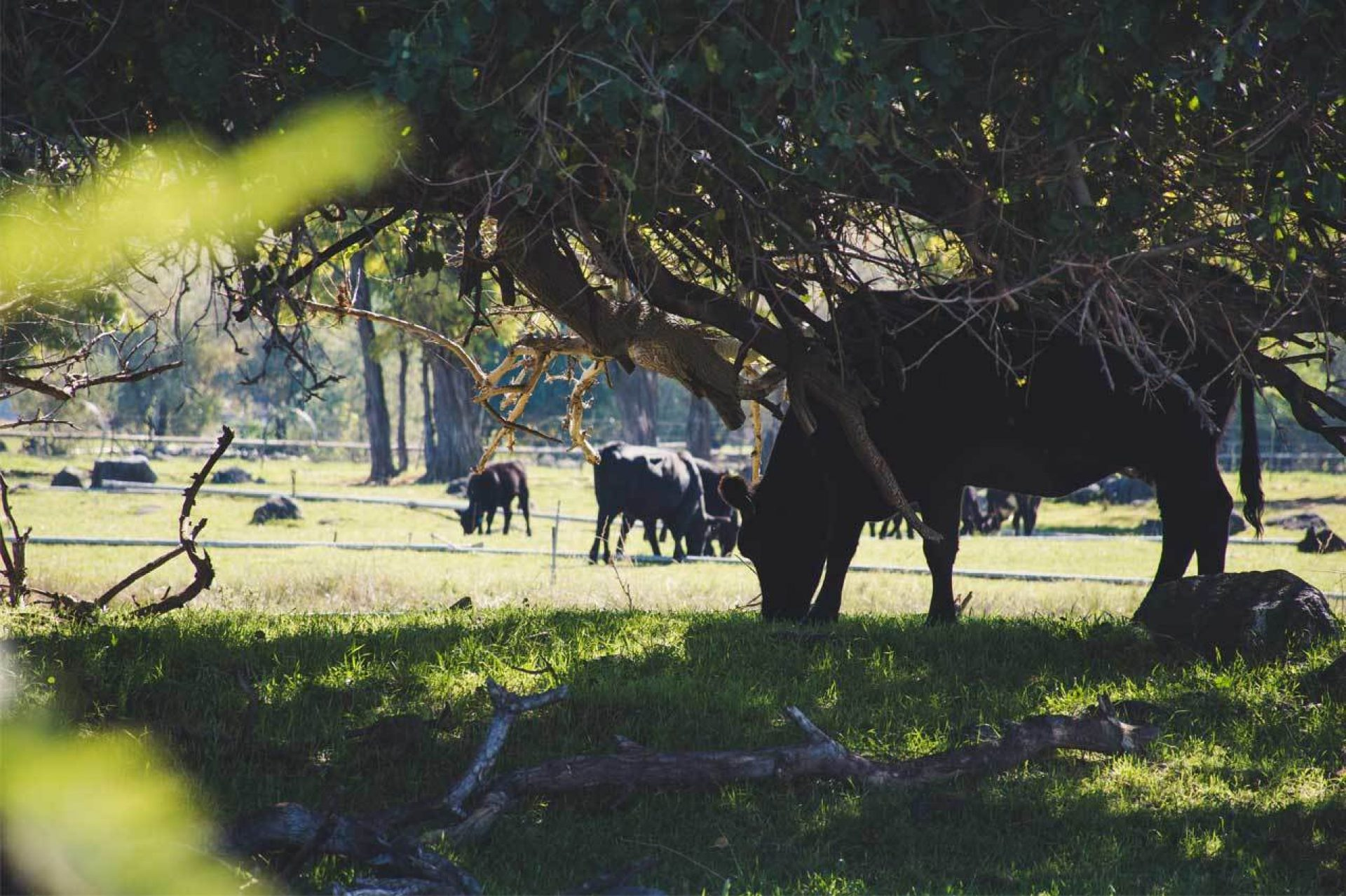 Black cows eating under tree in grass field