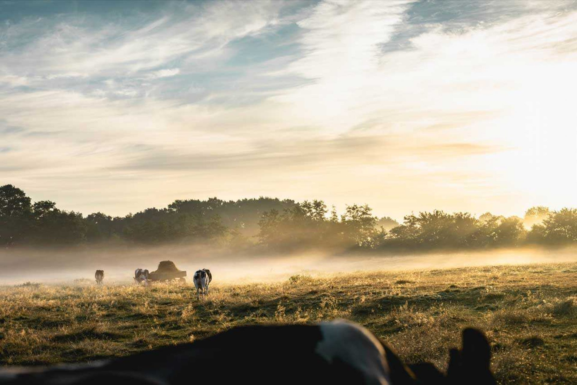Cows in field with fog hovering over the ground