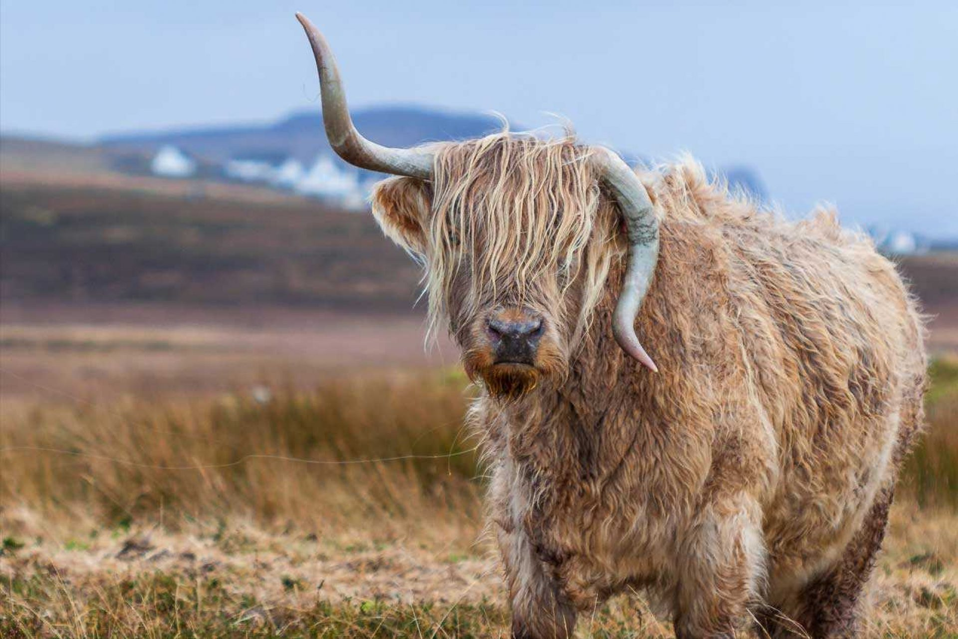 Horned long hair cow looking at camera