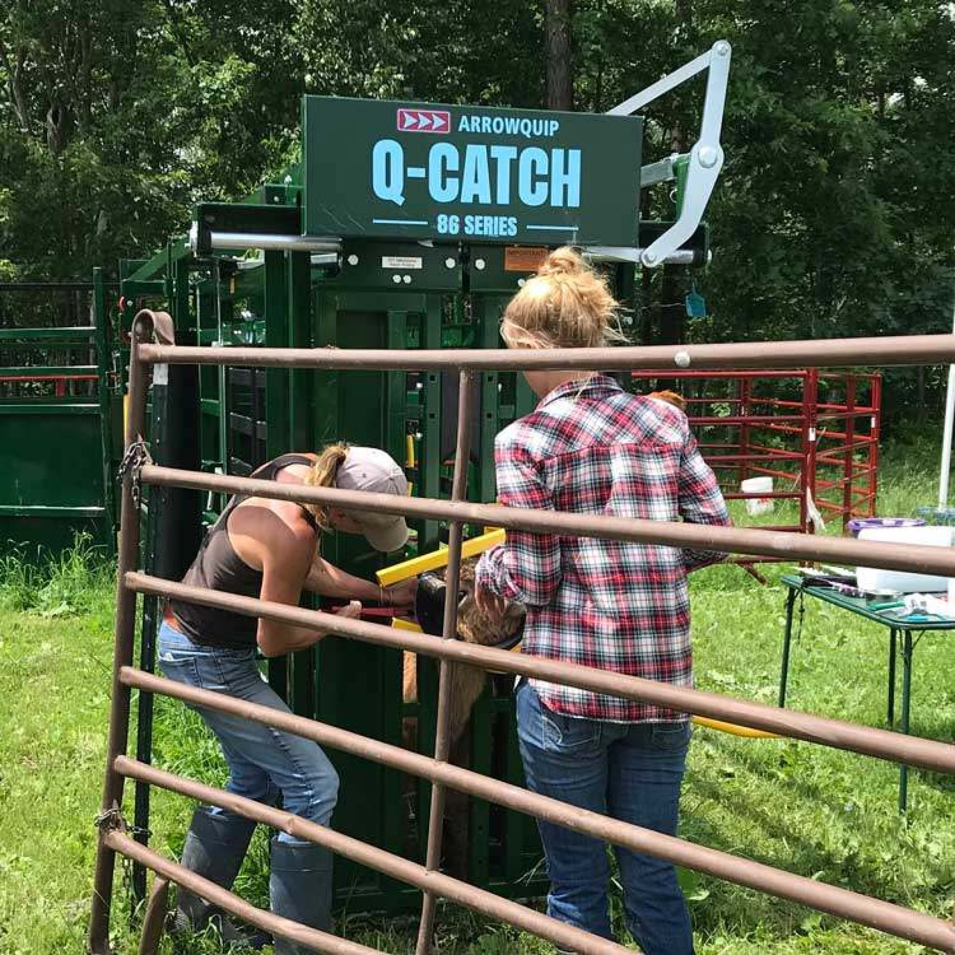 Two women ear tagging cows in cattle chute