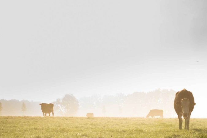 Group of cattle in field with fog