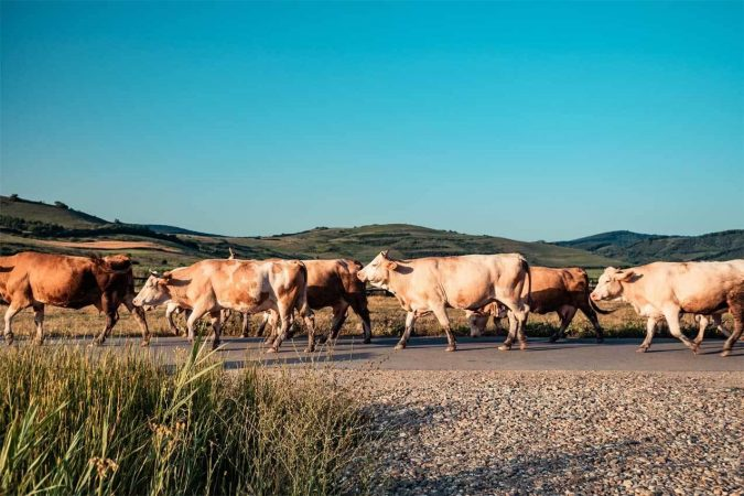 Group of cattle walking on paved road
