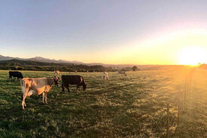Cows During Sunset