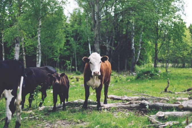 Cows and calf in front of trees