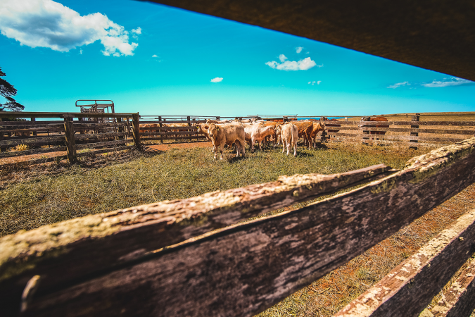 Image of cattle around cattle equipment