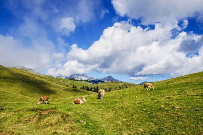 Group of cattle on grass hills