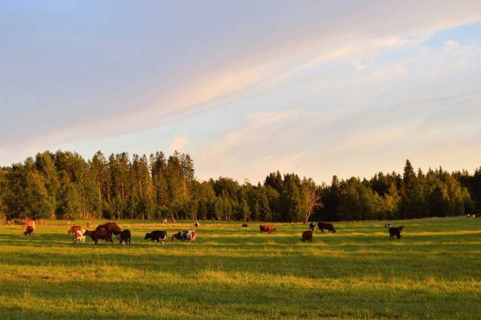 Cattle grazing in field with trees in the background
