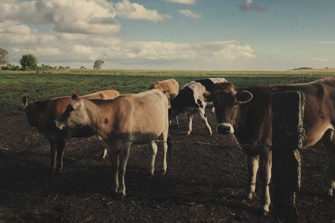 Group of cattle in dirt field