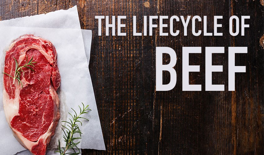 Field To Fork The Lifecycle Of Beef Arrowquip