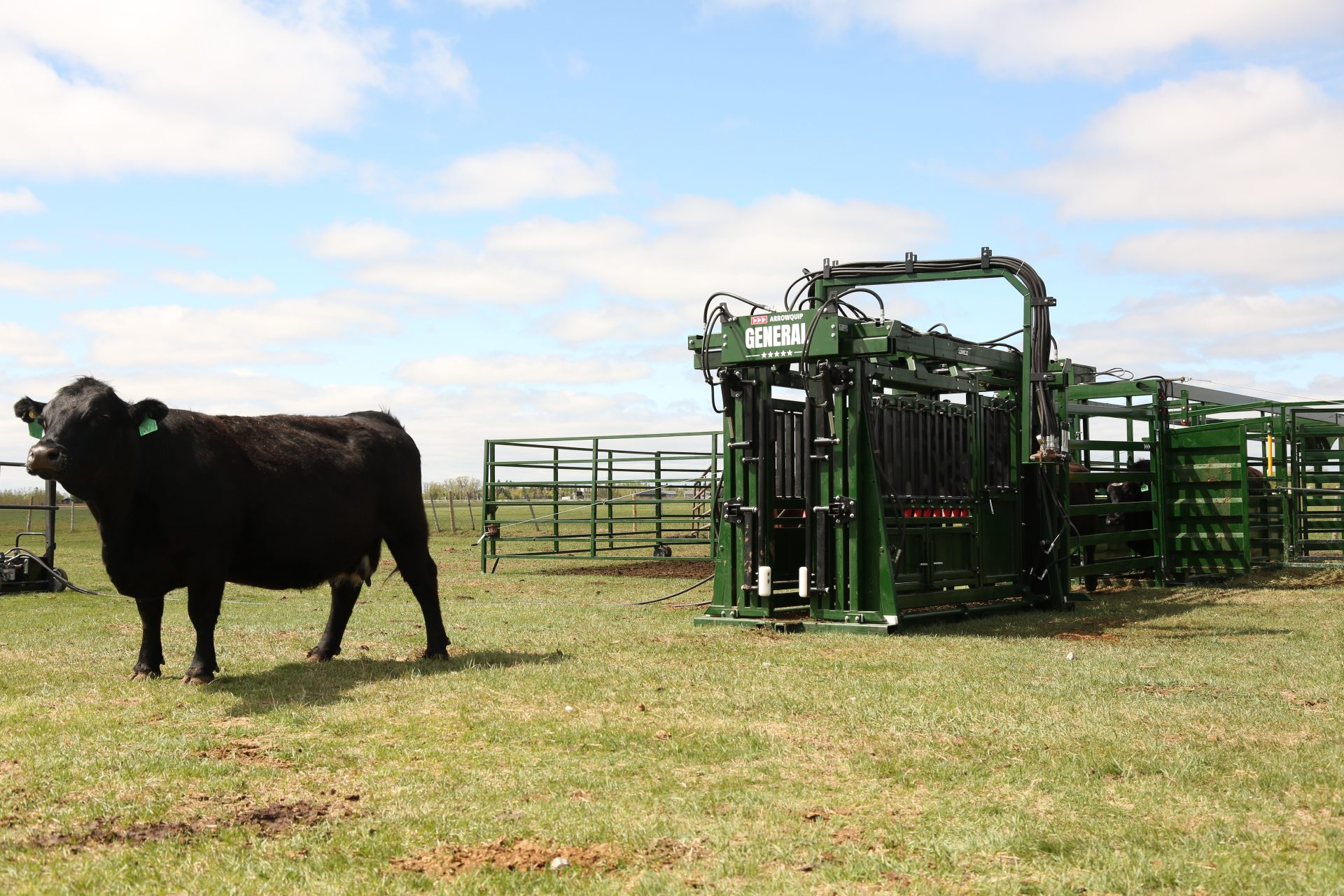 Black angus cow walking away from The General hydraulic chute