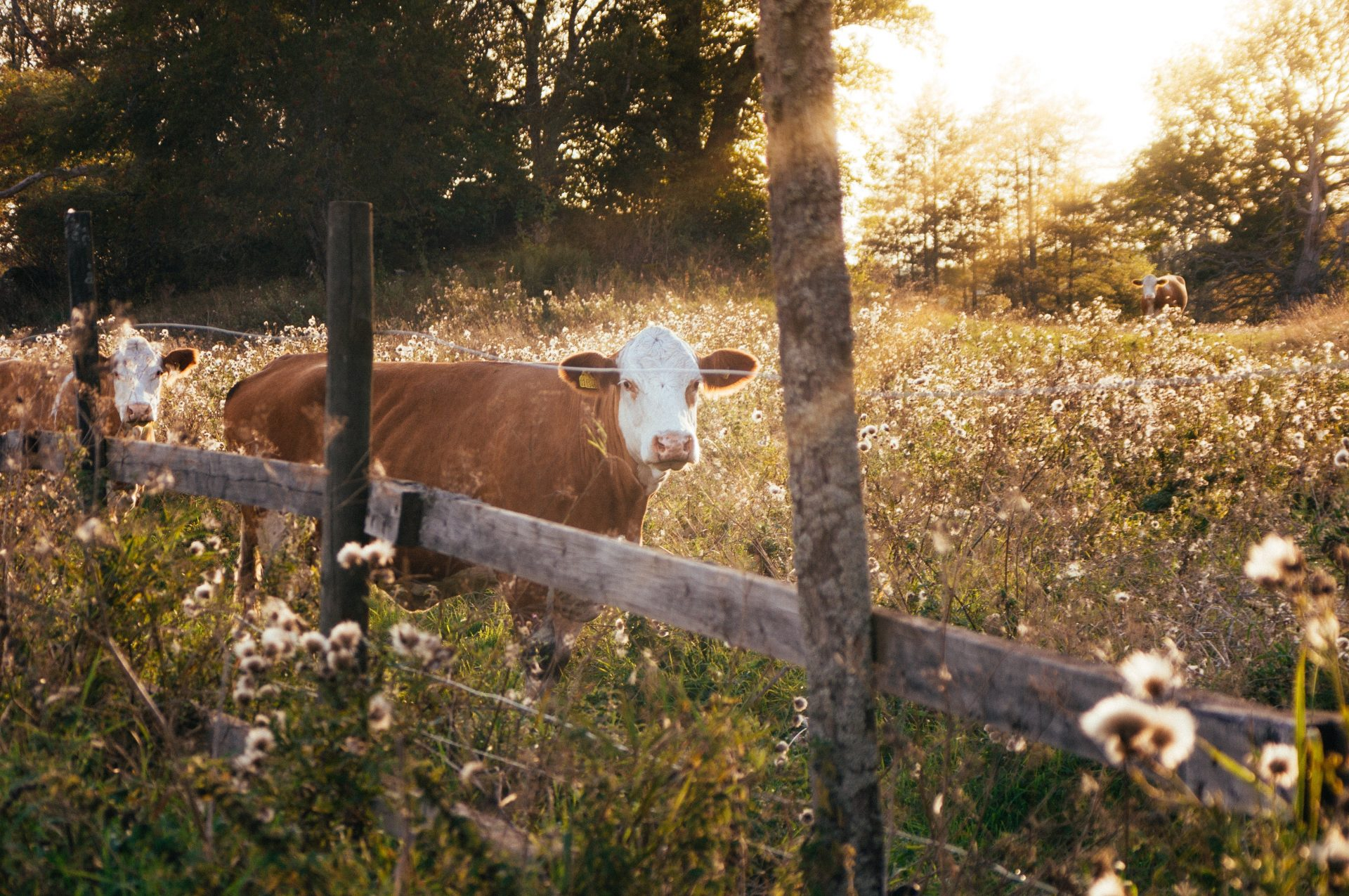 Pair of cattle in field behind wooden fence