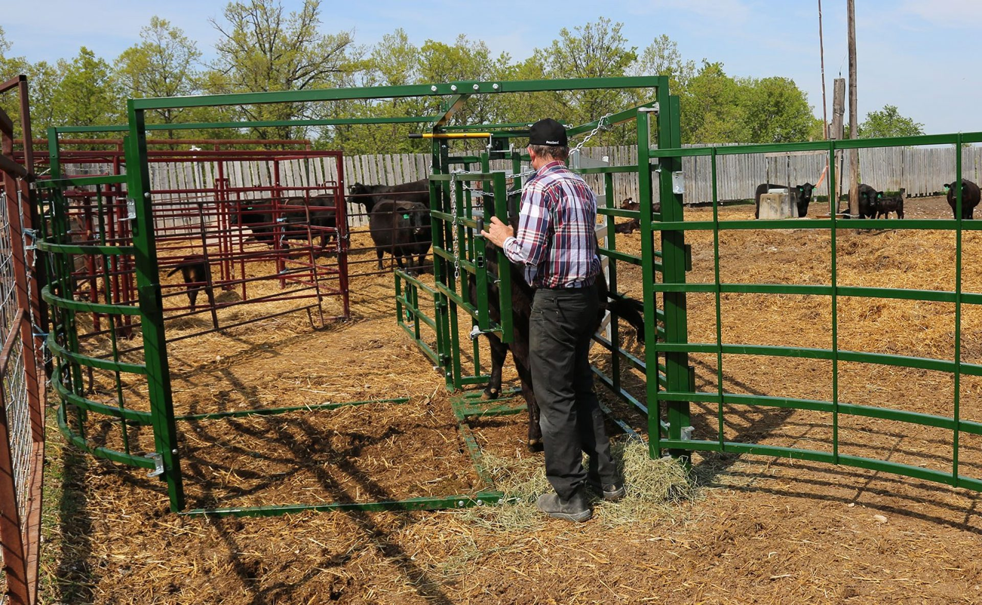 Cattle Maternity Pen with rancher working a cow through the back access gate