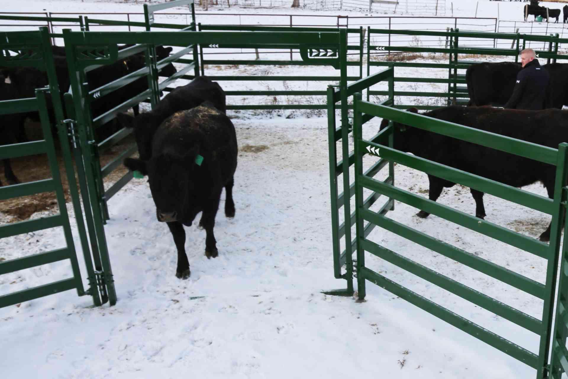 Black cow walking through Arrow Cattle Gate