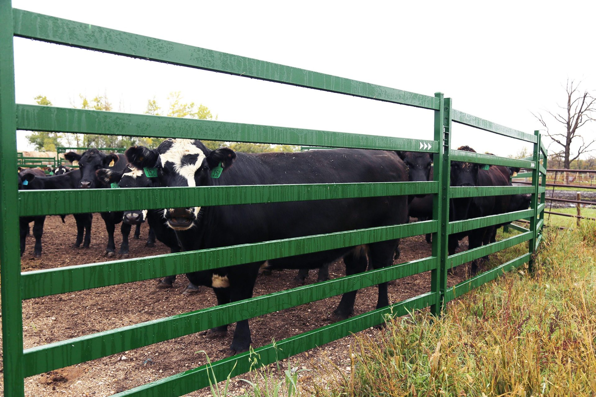 Black Cow standing behind Heavy Duty Arrow Cattle Panel
