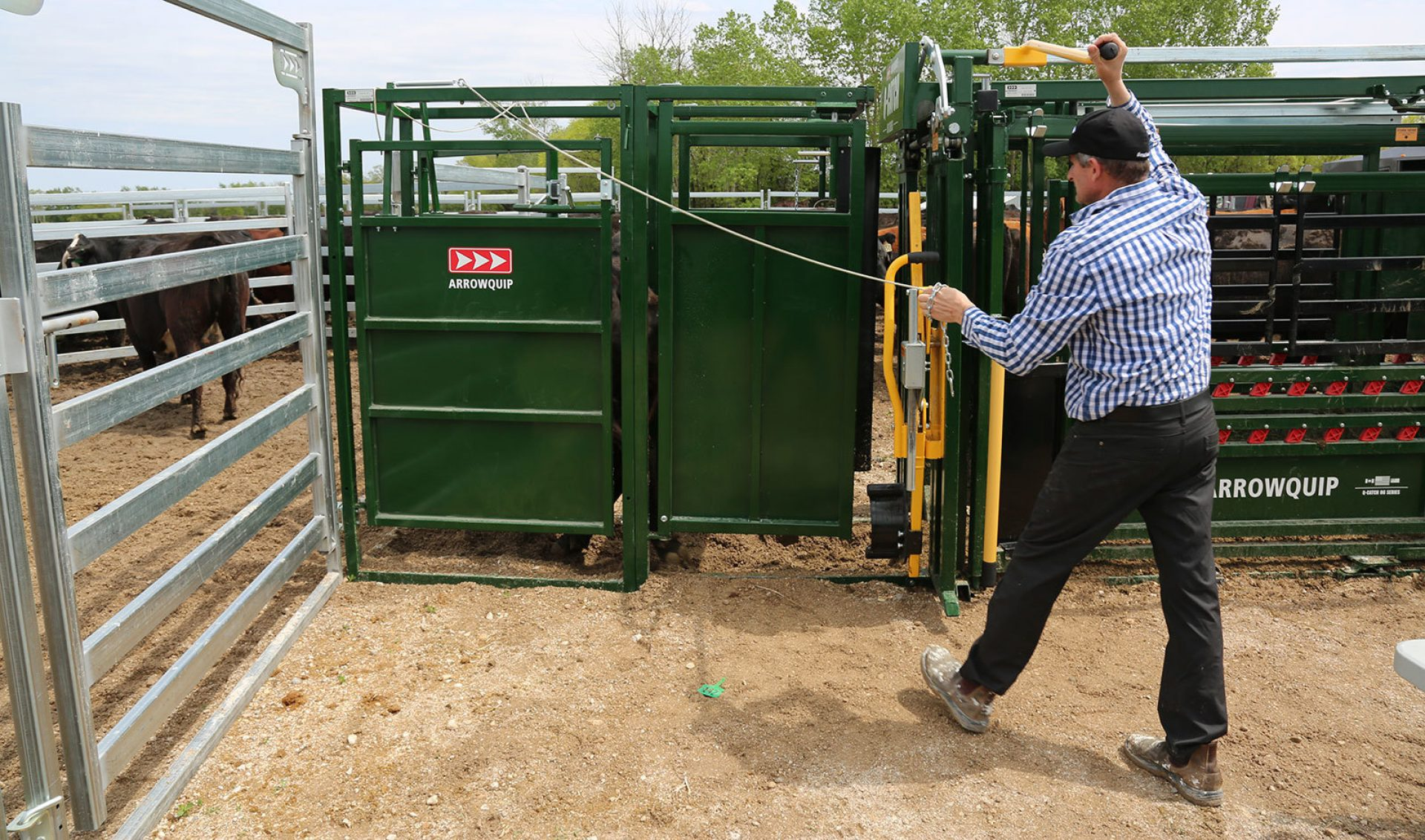 Side view of man drafting cattle with post-chute cattle sorting gate