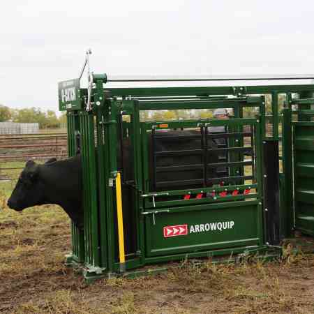 Cattle inside a squeeze chute