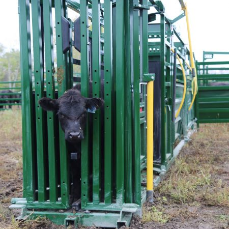 calf in a chute for cattle